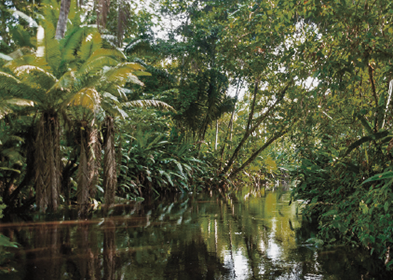 Ecuadorian rainforest, source of the Tagua or corozo nut
